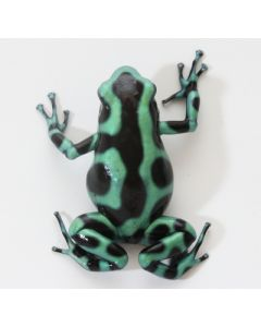 D. Auratus - Green/Black