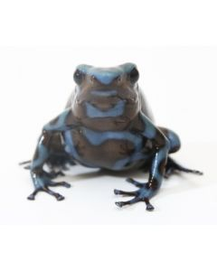 D. Auratus - Blue/Black