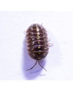 Armadillidium Klugii Culture - 'Montenegro Clown Isopod'